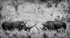 Breitmaul-Nashorn SW