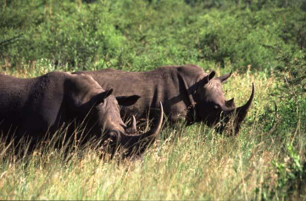 Breitmaulnashörner in Kawazulu Natal