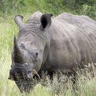 Breitmaulnashorn im Kruger Nationalpark