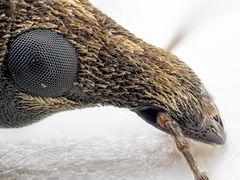 Breitmaulrüssler (Alandrus)
