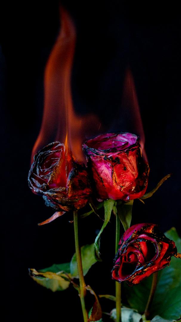 brennende rosen foto bild pflanzen pilze flechten. Black Bedroom Furniture Sets. Home Design Ideas