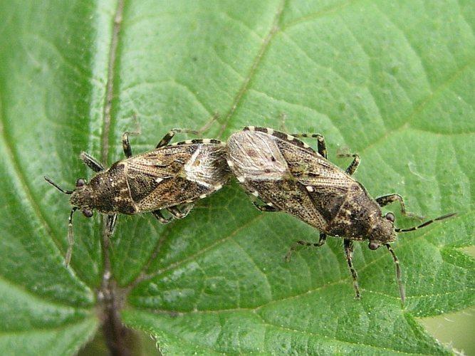 Brennesselwanzen-Paarung (6 - 7 mm Länge)