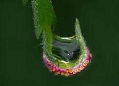 Brennnessel-Rostpilz (Puccinia urticata)* mit Wassertropfen! - L'artiste, c'est un champignon ...