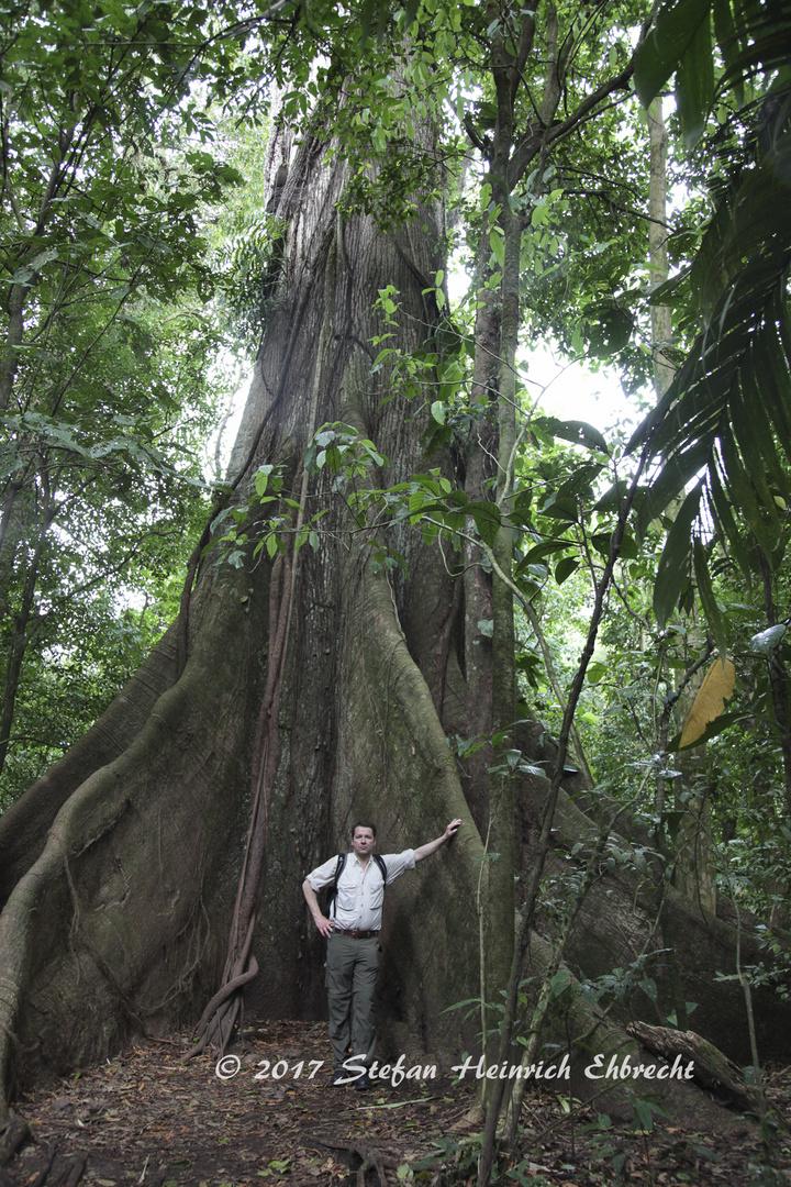 Brettwurzeln des Kapokbaums (Ceiba pentandra)