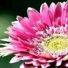 ... bright gerbera flower in the garden