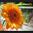 Bright orange gerbera daisy