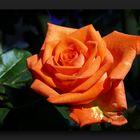 Bright orange sunny rose
