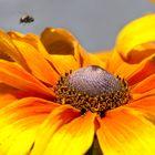 ... bright yellow flowerin the garden