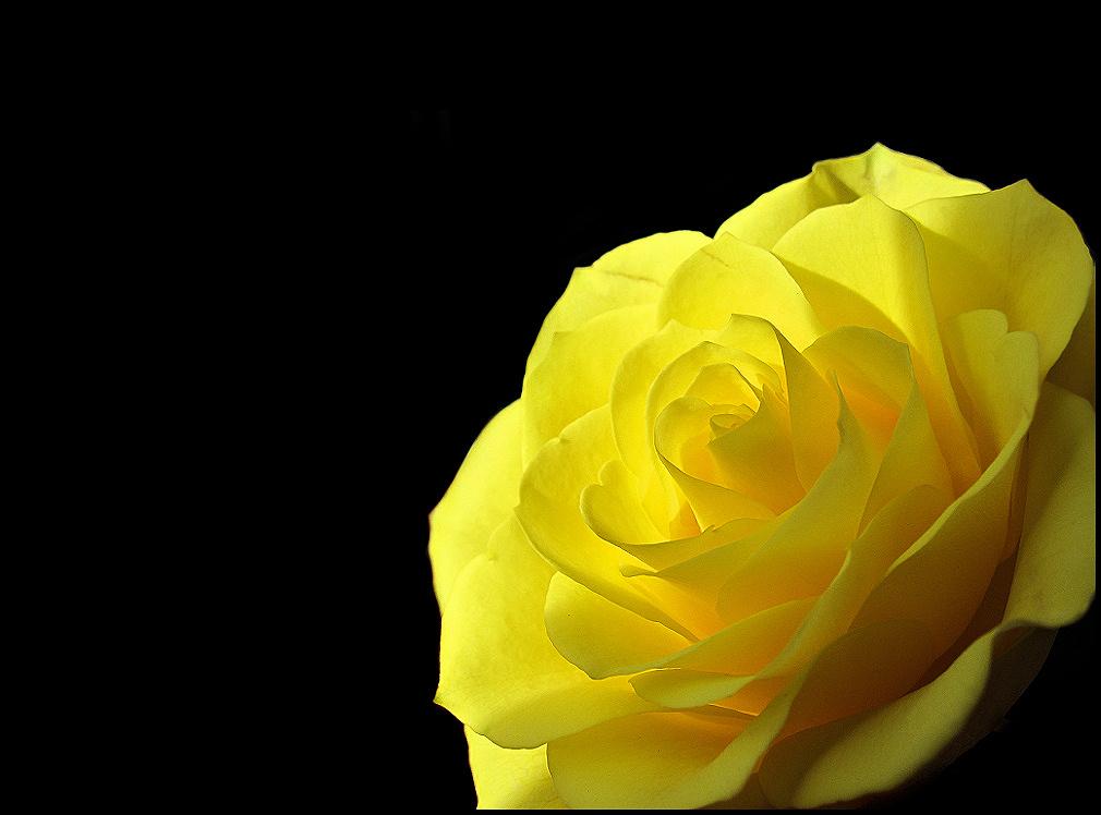 Bright yellow rose on black