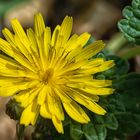 Bristly Oxtongue Flower-46