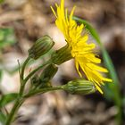 Bristly Oxtongue Flowers-47