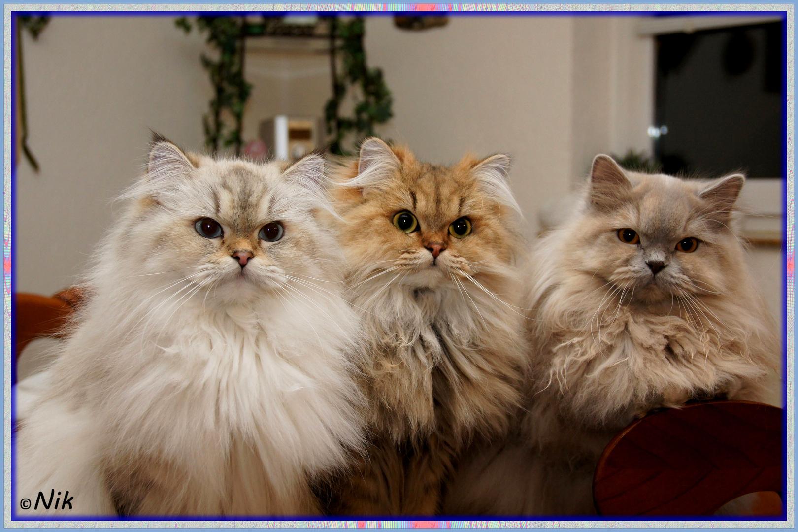 Langhaar Katzen