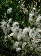 Broad-leaved Cottongrass