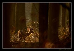 Brocard en forêt de Soignes