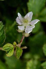 Brombeer-Blüte