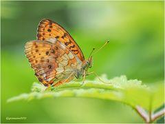 brombeer-perlmutterfalter (brenthis daphne) ....
