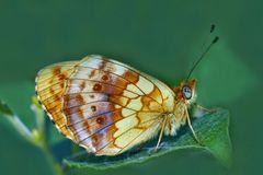 Brombeer-Perlmuttfalter (Brenthis daphne) - Le nacré de la ronce.