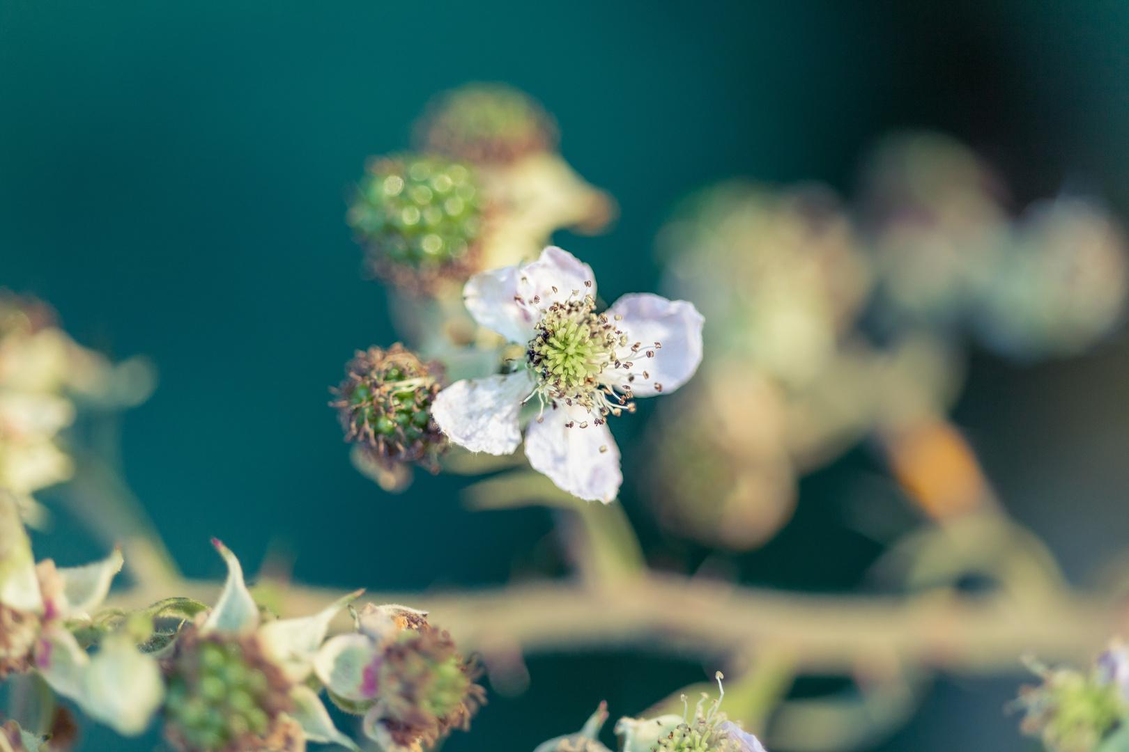 Brombeerblüte I