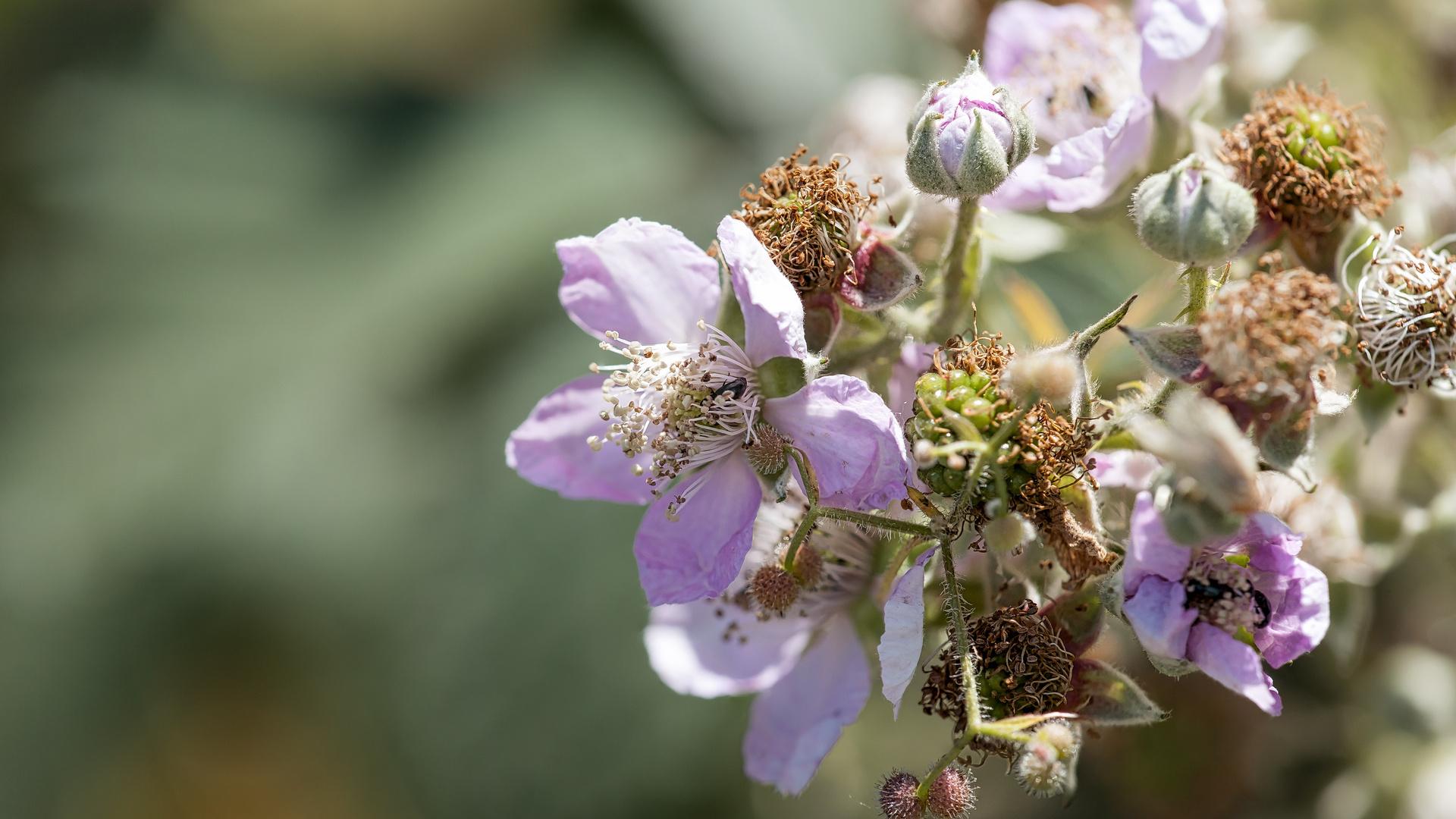 Brombeerblüte II