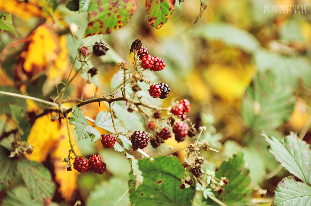 Brombeeren   Herbst