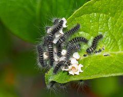Brombeerspinner-Kinderstube (Macrothylacia rubi) - Babys du bombyx de la ronce!