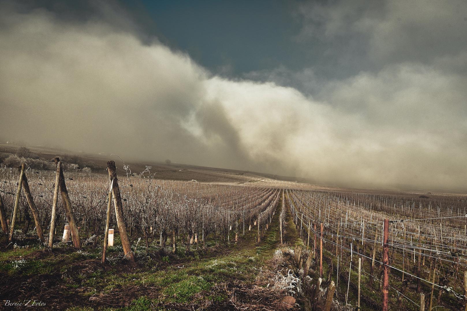Brouillard sur le vignoble