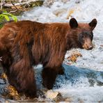 [ Brown Bear Cub ]