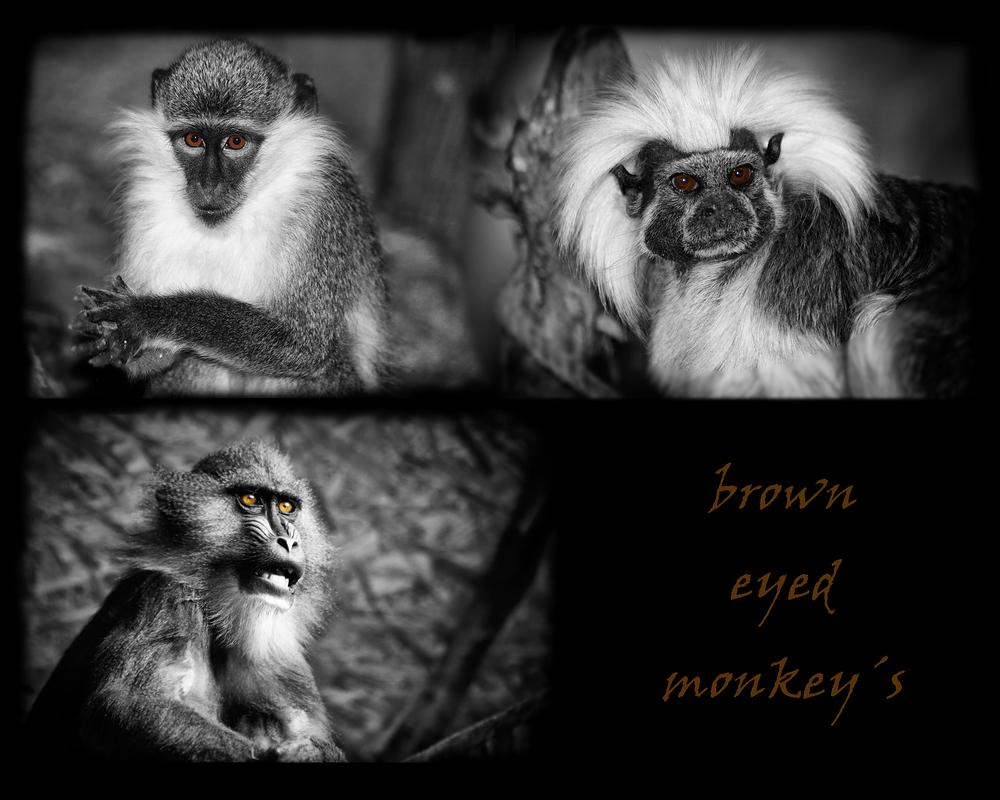 brown eyed monkey´s