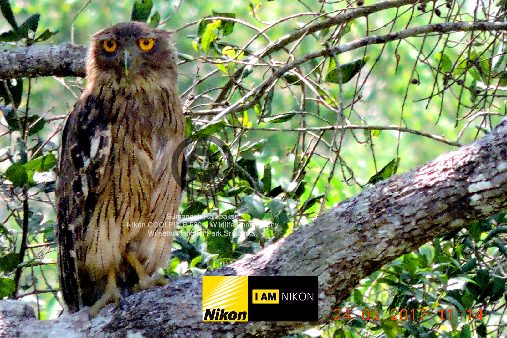 Brown Fish Owl ( Ketupa zeylonensis)