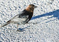 Brown -Haeded  Cowbird , Male.         DSC_4228-2