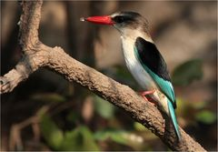 Brown Headed Kingfisher- Wildlife Zambia 2009