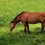 Brown horse eating fresh grass at green meadow