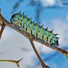 Bruco dell'albero mopane