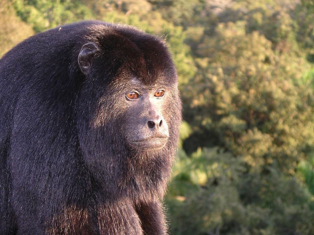 Brüllaffe im Pantanal / Brasilien