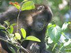 Brüllaffe in Costa Rica