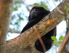 Brüllaffen, Costa Rica