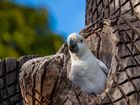 Brütender Kakadu
