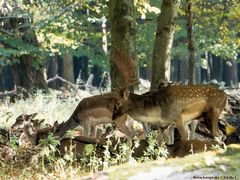 Brunftzeit im Tiergarten Hannover