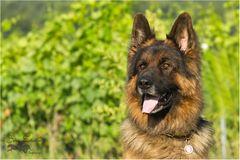 Bruno, ein vier Jahre alter Langhaarschäferhund