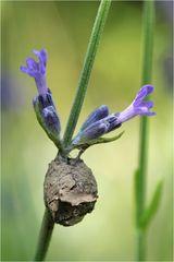 Brutzelle der Töpferwespe (Eumenes sp.)