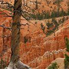 Bryce Canyon Snag