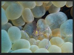 ~Bubble Coral Shrimp~