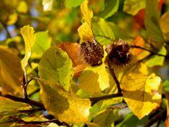 Buche im Herbstzauber