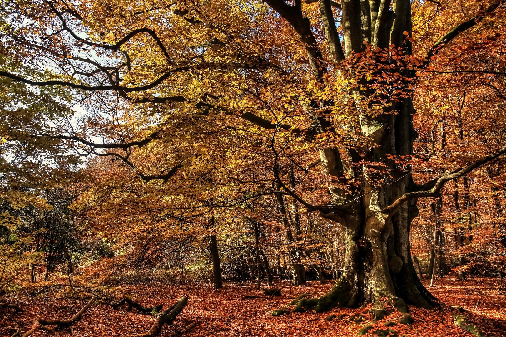 buche im urwald sababurg foto  bild  world wald bäume
