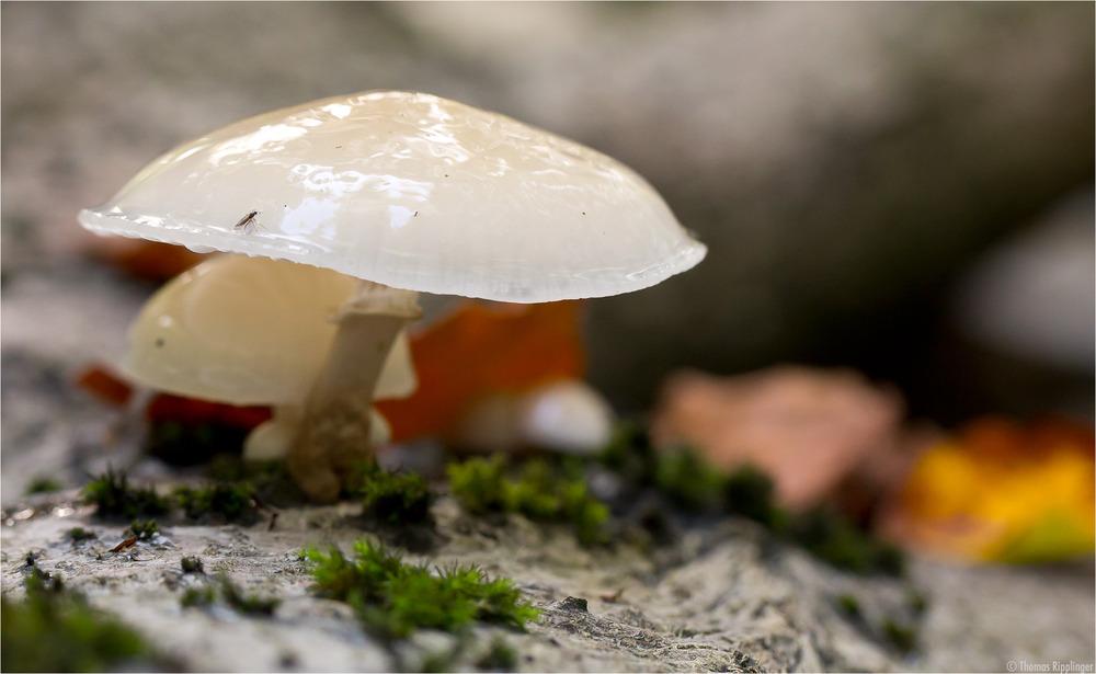 Buchen- oder Beringter Schleimrübling (Oudemansiella mucida)