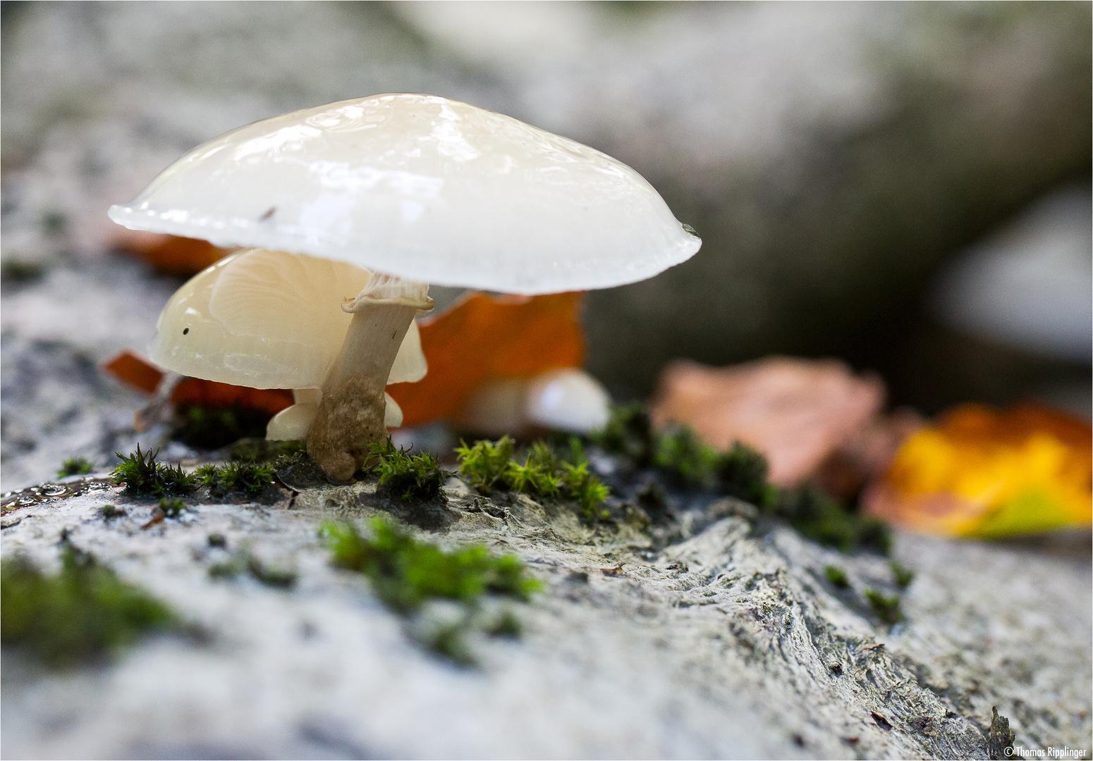 Buchen- oder Beringter Schleimrübling (Oudemansiella mucida).