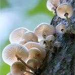 Buchen-Schleimrübling (Oudemansiella mucida)