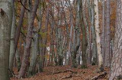 Buchenmischwald