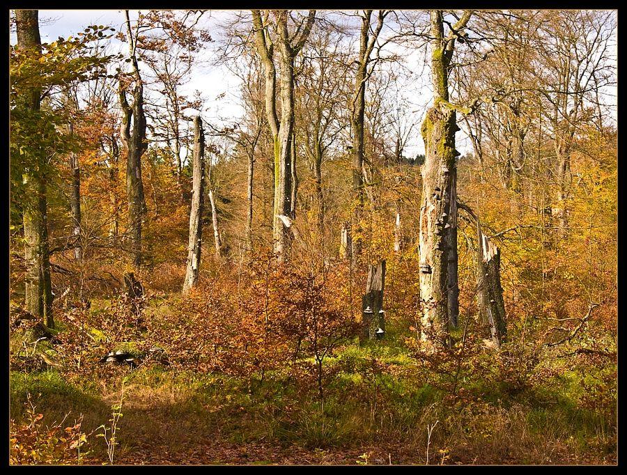 Buchenstämme mit Baumpilzen