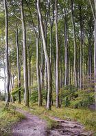 Buchenwald am Hochuferweg im Jasmund Nationalpark